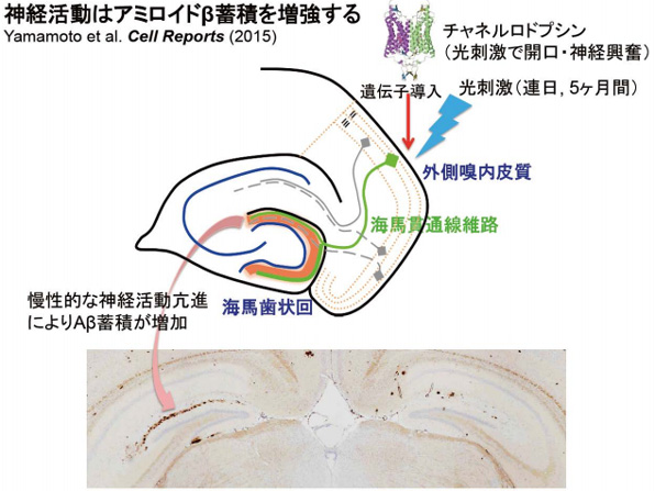 Images of 光遺伝学
