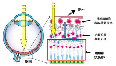 網膜色素変性症の遺伝子治療薬でクリノと提携-アステラス ...