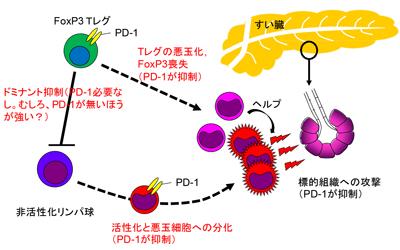 PD-1分子、自己免疫疾患を抑制する機構明らかに-京大 - QLifePro 医療 ...