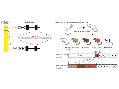Y染色体遺伝子Zfy1とZfy2が相補的かつ多段階に精子形成を制御-東京医 ...