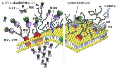 膵がん細胞表面の糖鎖構造を特異的に認識するレクチンを発見-筑波大 ...