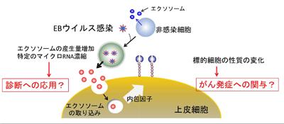 EBウイルス感染細胞が放出するエクソソームの性質を解明-北大 ...