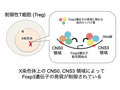 制御性T細胞の発生と免疫寛容に不可欠な非コードDNA領域を発見-iFReC ...
